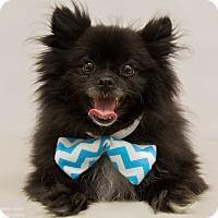 Adopt A Pet :: Chaplin - Mission Viejo, CA