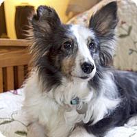 Adopt A Pet :: Cheyanne - San Diego, CA