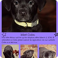 Adopt A Pet :: Collin- pending adoption - Fredericksburg, VA