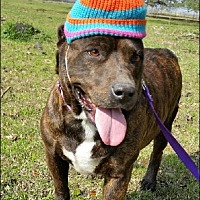 Adopt A Pet :: Tiger Lily - Simsbury, CT