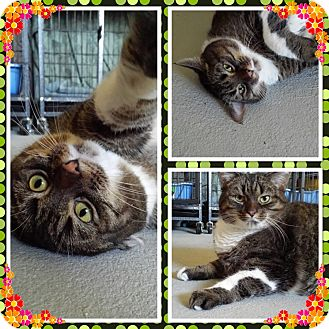 Domestic Shorthair Cat for adoption in Cedar Springs, Michigan - Pepper