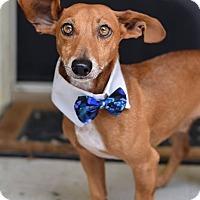 Adopt A Pet :: Blitz - Baton Rouge, LA