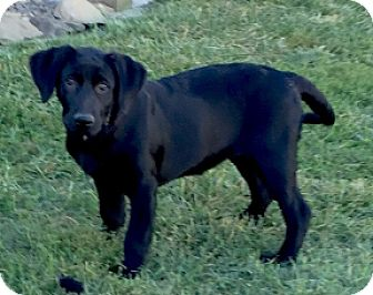 Labrador Retriever Puppy for adoption in Columbus, Ohio - Ruby