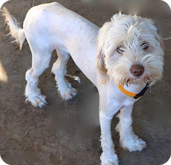 Tibetan Terrier Mix Dog for adoption in Allentown, Pennsylvania - Allegra