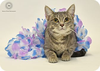 Domestic Shorthair Cat for adoption in St. Louis, Missouri - Storm