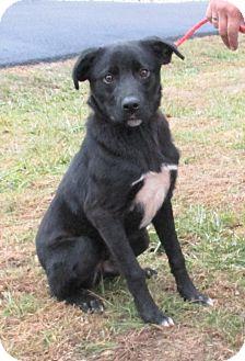 Labrador Retriever/Blue Heeler Mix Dog for adoption in Reeds Spring, Missouri - Joe