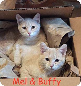 Domestic Shorthair Cat for adoption in Flint HIll, Virginia - Buffy