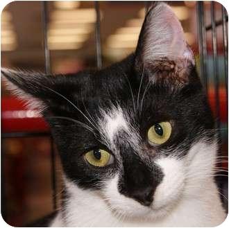 Domestic Shorthair Cat for adoption in San Ramon, California - Doober
