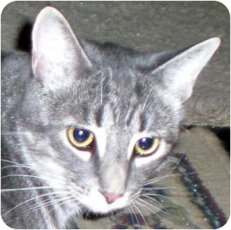 Oriental Cat for adoption in Troy, Michigan - Shad