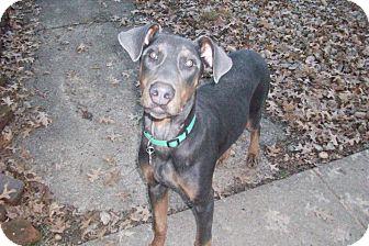 Doberman Pinscher Puppy for adoption in New Richmond, Ohio - Dobson--adopted!