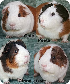 Guinea Pig for adoption in Fullerton, California - Cato, Cinna, Gale and Peeta