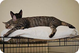Domestic Shorthair Cat for adoption in Trevose, Pennsylvania - Tinker Bell