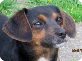 Miniature Pinscher/Beagle Mix Dog for adoption in North Olmsted, Ohio - Holly