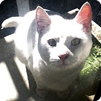 American Shorthair Cat for adoption in Cerritos, California - Ruben