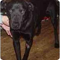 Adopt A Pet :: Scooby - Sun Valley, CA