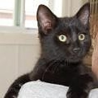 Domestic Shorthair Cat for adoption in Brainardsville, New York - Peanut