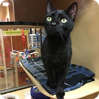 Domestic Shorthair Kitten for adoption in Statesville, North Carolina - Zia