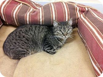 Domestic Shorthair Kitten for adoption in Maryville, Tennessee - Sweetpea