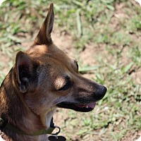 Chihuahua Dog for adoption in Oakville, Connecticut - Joy