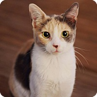 Calico Cat for adoption in Los Angeles, California - Rosa