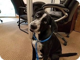 Labrador Retriever/Great Dane Mix Dog for adoption in San Antonio, Texas - Jitters