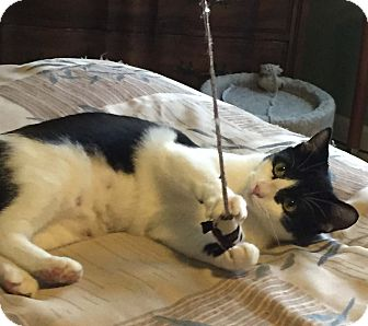Domestic Shorthair Cat for adoption in Lombard, Illinois - Brooke