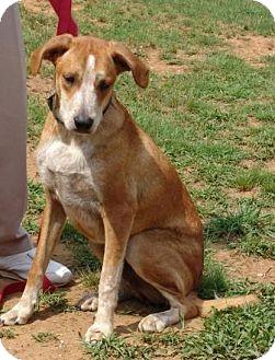 English (Redtick) Coonhound Mix Dog for adoption in Washington, D.C. - Dixon