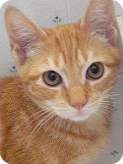 Domestic Mediumhair Kitten for adoption in Island Park, New York - Pride