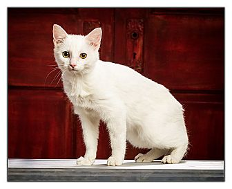 American Shorthair Cat for adoption in Owensboro, Kentucky - Snow