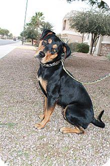Rottweiler/German Shepherd Dog Mix Dog for adoption in Gilbert, Arizona - Oakley
