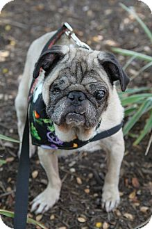 Pug Dog for adoption in Austin, Texas - Ty
