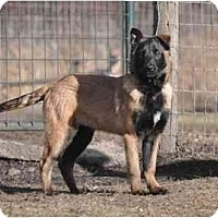 Adopt A Pet :: Bogie - Hamilton, MT