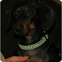 Adopt A Pet :: Little Momma - Portland, OR