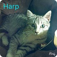 Adopt A Pet :: Harp - Centerton, AR