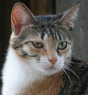 Domestic Shorthair Cat for adoption in North Fort Myers, Florida - Meiko