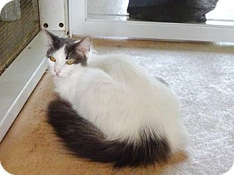 Domestic Mediumhair Cat for adoption in Belleville, Michigan - Dina