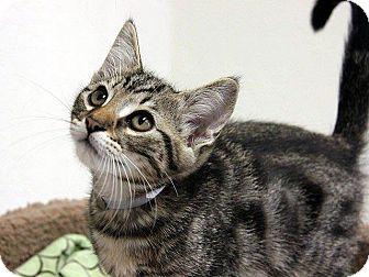 Domestic Shorthair Kitten for adoption in Hawthorne, California - Sherbert