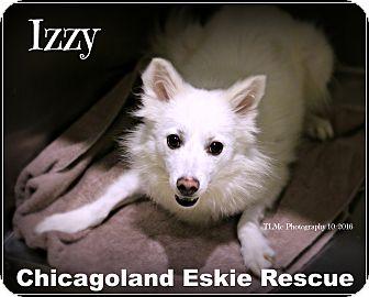American Eskimo Dog Dog for adoption in Elmhurst, Illinois - Izzy