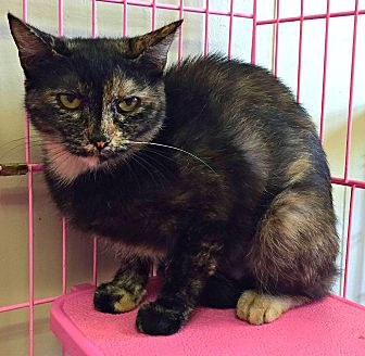 Domestic Shorthair Cat for adoption in Wapakoneta, Ohio - Hannah