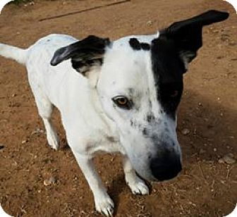 Border Collie Mix Dog for adoption in Snyder, Texas - Sadie