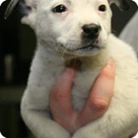 Cattle Dog/Blue Heeler Mix Puppy for adoption in Milford, New Jersey - Paterson