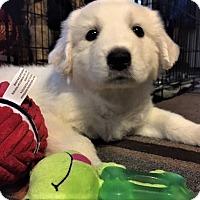 Adopt A Pet :: Elsa - Kyle, TX