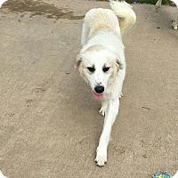 Adopt A Pet :: Zoey 2 meet me 4/7 - Manchester, CT