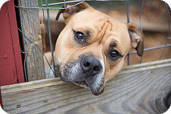 Bulldog/American Staffordshire Terrier Mix Dog for adoption in Eugene, Oregon - Wilbur