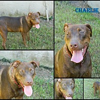 Labrador Retriever/Mixed Breed (Large) Mix Dog for adoption in Homestead, Florida - charlie