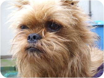 Brussels Griffon Dog for adoption in Los Angeles, California - RUSTY - ADOPTION PENDING