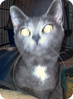 Russian Blue Cat for adoption in Saint Albans, West Virginia - Axel