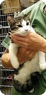 Domestic Shorthair Kitten for adoption in Chandler, Arizona - Milo