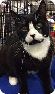 Domestic Shorthair Cat for adoption in Harrisburg, North Carolina - Scott