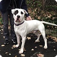 Adopt A Pet :: Spanky - Pompton Lakes, NJ